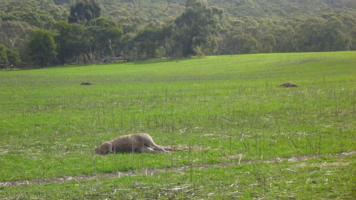 Multiple kangaroos were found on the Wallan property. (Supplied)