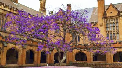 Of course, the University of Sydney's famous Jacaranda tree is also already showing off. (Twitter: @kyliebudge)