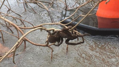 The eight-legged freak was snapped clinging to a tree branch in the town of Halifax. (Supplied)