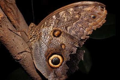 <p>Butterfly with an eye spot</p>