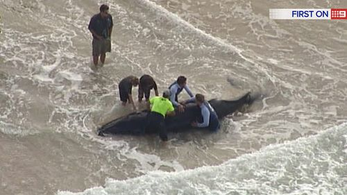 Locals attempt to roll the whale back into the ocean. (9NEWS)