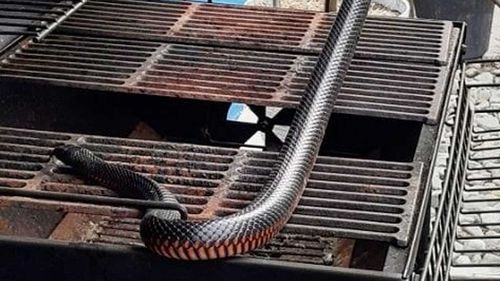 A red-bellied black snake in a barbecue in Queensland.