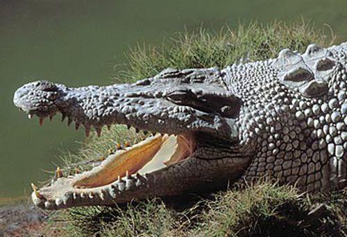 Saltwater crocodile (Getty)