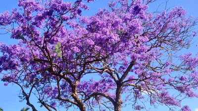"One Queenslander showed off his mum's Jacaranda with pride. ""Mum's Jacaranda tree this time of year,"" he wrote, accompanying the picture with a love heart emoji. (Instagram: @chookz1801)"