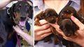 Mama Mia! Dog gives birth to record 18 puppies