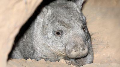Wombat population back after near extinction