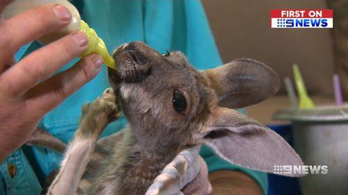 Gumby's Kangaroo and Wildlife Sanctuar currently cares for 31 orphaned kangaroos. (9NEWS)