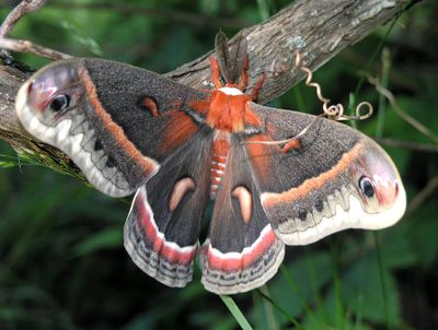 <strong>Cecropia moths</strong>