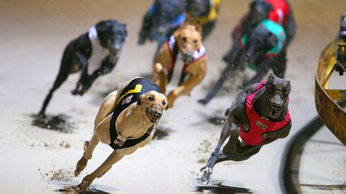 Judge rejects greyhound live-baiting video evidence