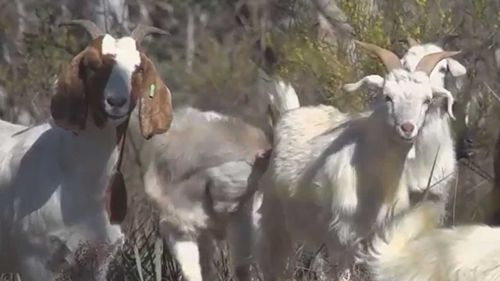 Goats are being used instead of backburning in the NSW Central West.