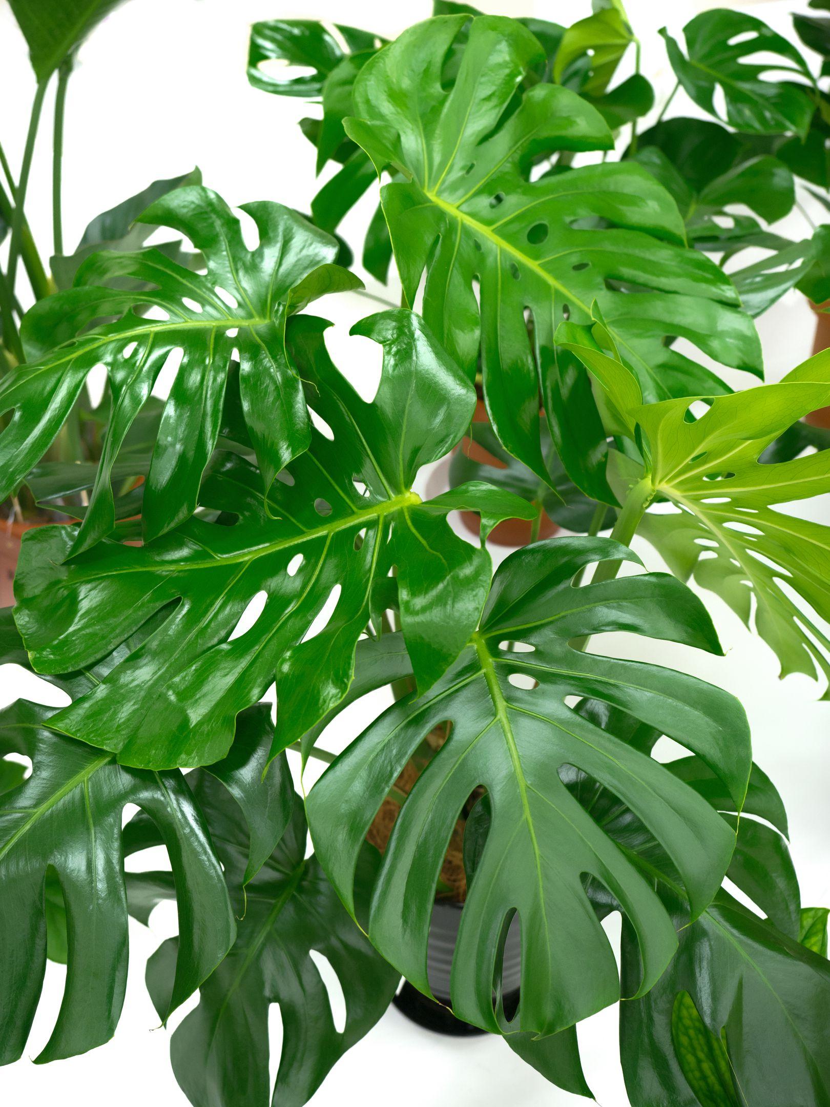 Split-leaf philodendron
