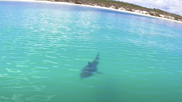 The sharks were swimming close to the Fraser Island shoreline to feast on a dead humpback whale.