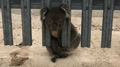 Curious koala gets himself in a fix
