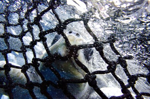 The controversial nets are also being trialled in northern NSW, where they have been blamed for catching 275 animals,  including four dolphins and five turtles since they were introduced in December 2016. (AAP)