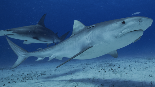 Shark populations are under threat due to overfishing.