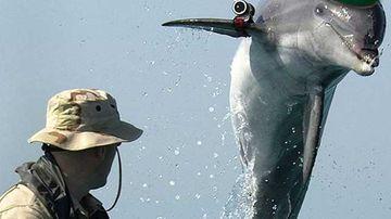 A military dolphin (illustrative).