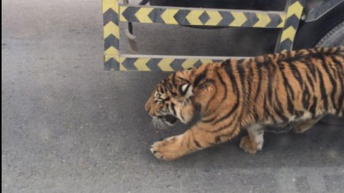 The tiger was filmed roaming the busy Doha Expressway. (Twitter/@QatarLiving)