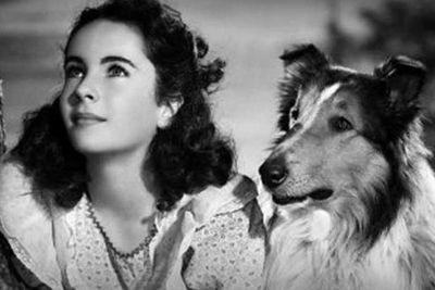 Elizabeth Taylor introduced us to Lassie in his first movie back in 1943. Since then, the bushy collie has had 11 movies and 11 TV series.