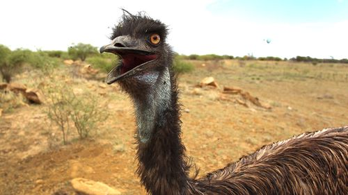 Emu dies after 'arrest' in Victoria