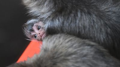 Baby spider monkey stealing hearts