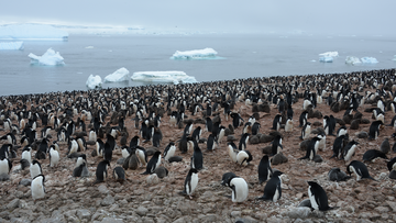 This is just a portion of the king penguin colony photographed on South Georgia island.