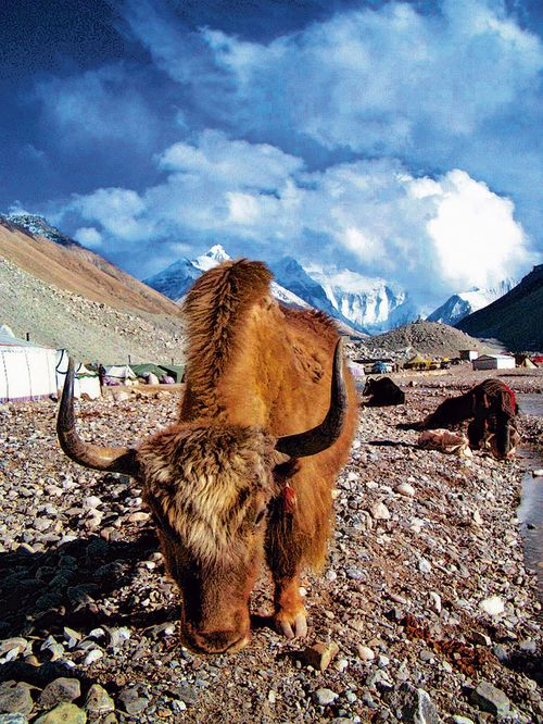 A yak wanders around near the base camp for Mount Everest, which sits quiet and empty in the spring 2020 climbing season.