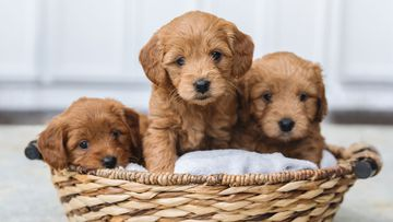 Puppies in a basket stock image