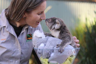 Tippi the koala