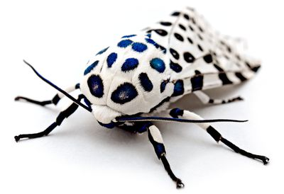 <strong>Giant leopard moth</strong>