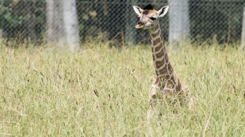 Pure Rothschild giraffe born January 27. (Mogo Zoo)