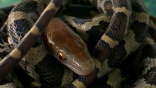 The heads of the baby snakes were the first to emerge from their eggs and their tongues immediately darted out.