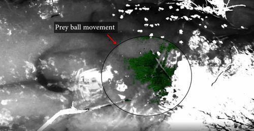 Electric eels targeting prey balls in Amazon