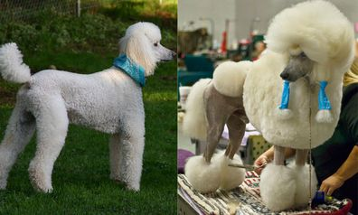 Outstanding How The Poodle Got Its Do Nine Com Au Natural Hairstyles Runnerswayorg