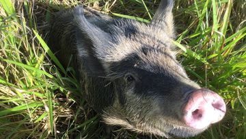 Queensland drivers boar witness to a would-be road hog yesterday, following the discovery of a lost pig wandering alongside the Bruce Highway.