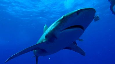 Oceanic Whitetip shark deadliest sharks 9Now