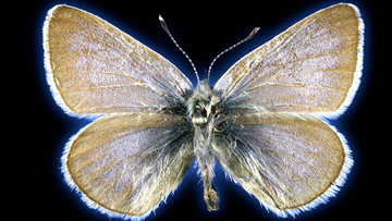 This 93-year-old Xerces blue butterfly specimen was used in a study to prove it was once a unique species.