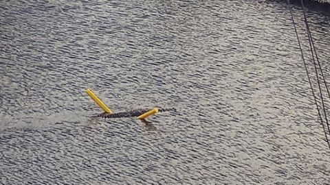 Crocodile swims with pool noodle in Florida Keys