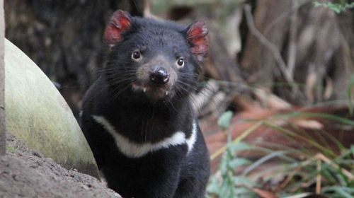 Tasmanian devil bludgeoned to death: necropsy