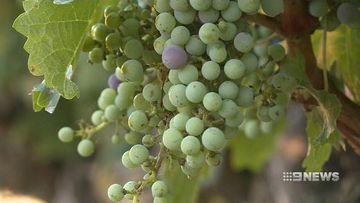 VIDEO: Workers travelling long distances for Canberra wine harvest