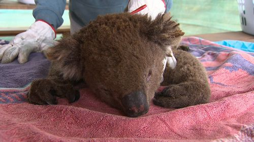 This male koala was injured during the deadly fires on Kangaroo Island.