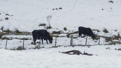Cows in NSW Alpine region