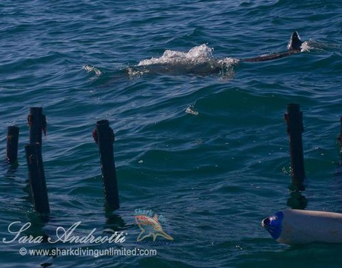 The sharp turn of a great white shark in front of the Sharksafe Barrier exclusion square positioned in Shark Alley, Gansbaai, South Africa (Photo courtesy, Sara Andreotti / Sharksafe Barrier)