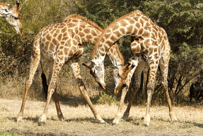 Female giraffes make friends, male giraffes fight