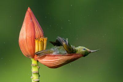 'Floral Bathtub'. Category: Bird Behaviour. Gold award winner.