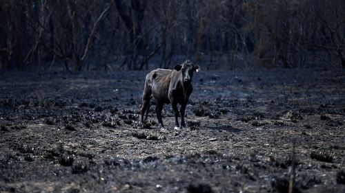 A cow stands in a burnt out field in Rappville, NSW. Several properties were lost when an out-of-control bushfire swept through the northern NSW village.