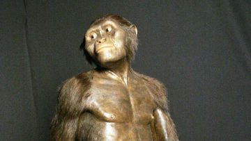 A rendering of what the Australopithecus would have looked like.
