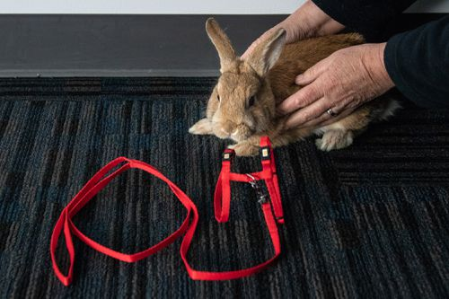 The domesticated rabbit had been taught to use a harness. Picture: 9NEWS