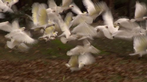 The flocks have been damaging homes at Healesville, north-east of Melbourne.