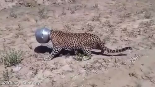 The leopard was left sheepish after its head got stuck.