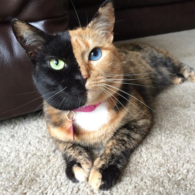 Venus the two-faced cat (2 million followers on Instagram)